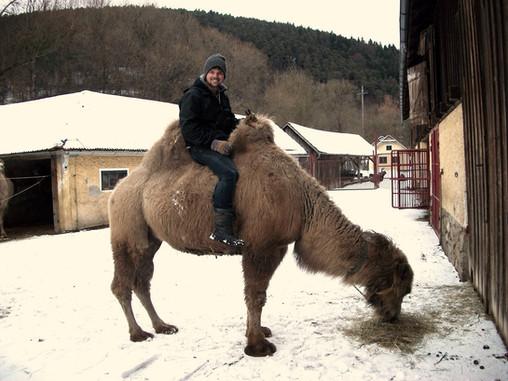 Working on a Camel Farm in Austria