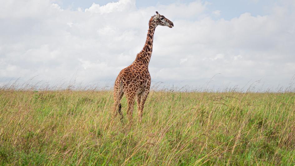 Lone girrafe in Nairobi National Park