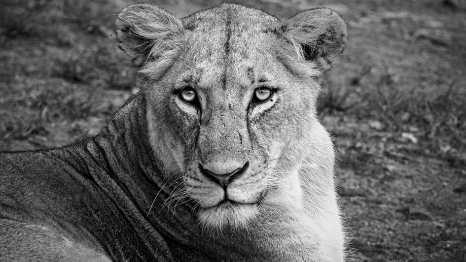 Lioness in B&W