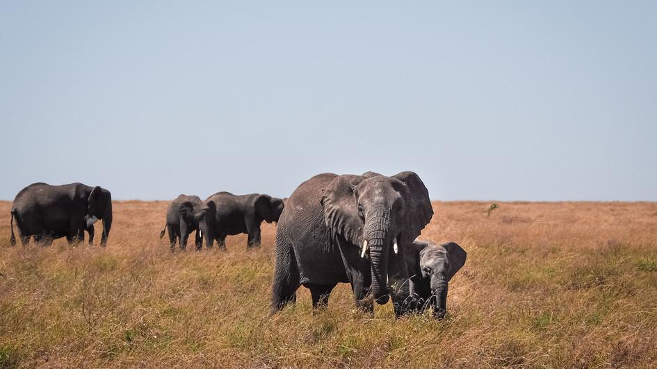 Elephant Family - Tanzania