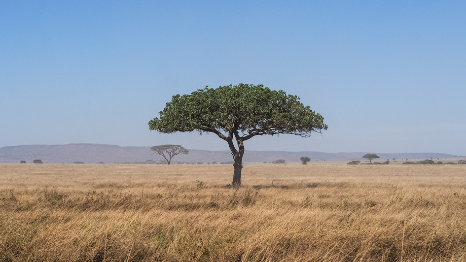 Serengeti Tree - Tanzania