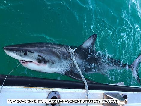 Shark Edit.png