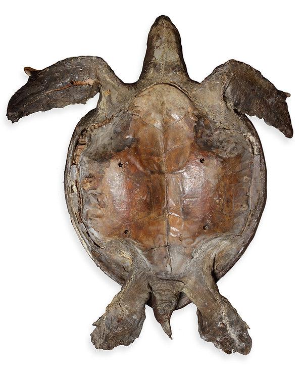 Turtle back.jpg