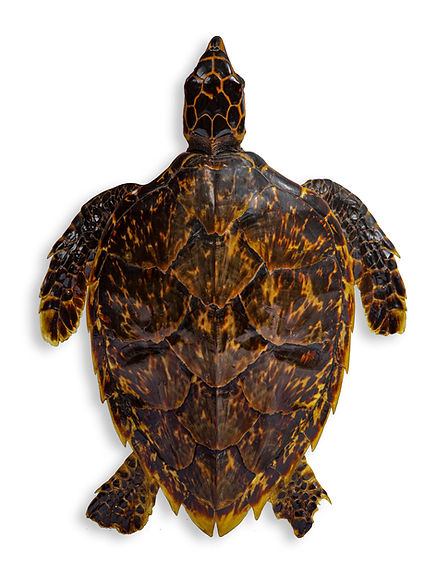 mini schildpad.jpg
