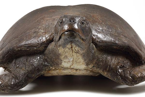 Grote Schildpad 05.jpg