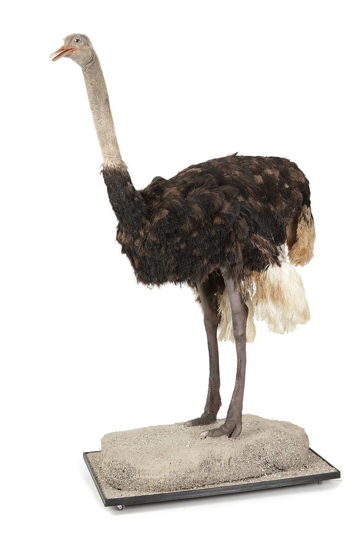 Struisvogel 01.jpg