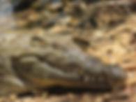 Crocodile Lac Sacré