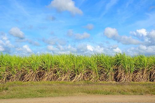 sugar-cane-1928773_1920.jpg