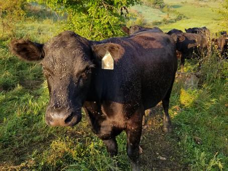 A Cow's Nemesis