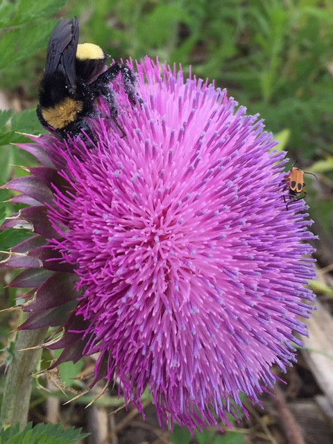 A thistle and bee