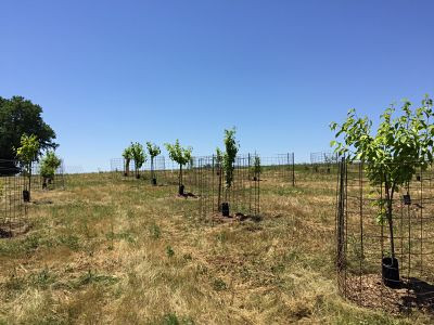 Young trees grow in new orchard