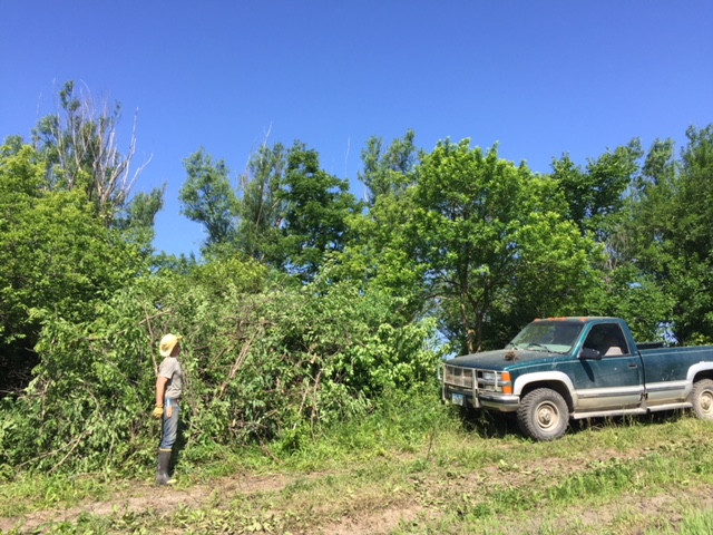 A picture of the cleared trees and brush in this pile in front of the truck.  The pile of trees we cut is much larger than the truck.