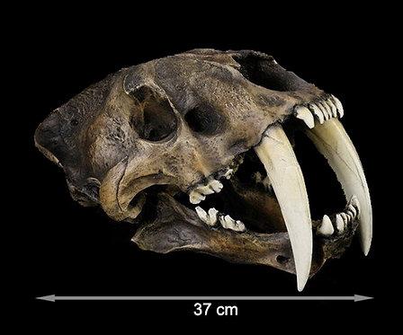 Crânio de Dente-de-Sabre