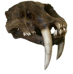 Crânio de 'Smilodon' (dente-de-sabre)