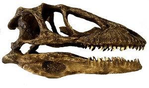 Crânio de 'Deinonychus'