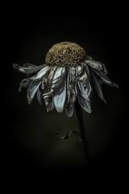 The Wilted Beauty