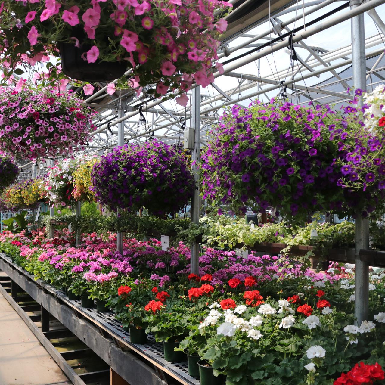 hanging baskets/ greenhouse