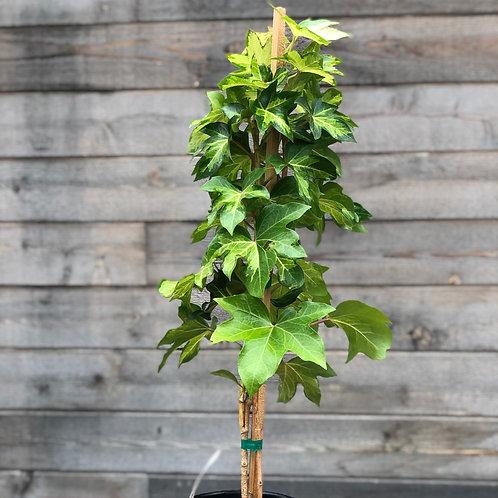 Fatshedera Tree Ivy