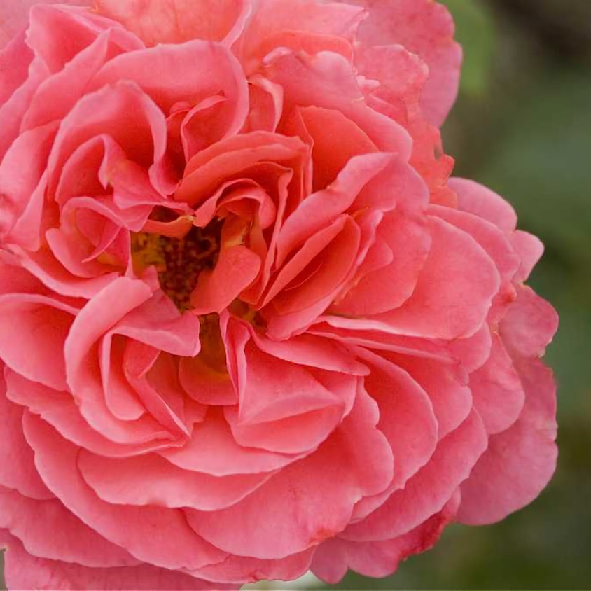 How to care care of your roses