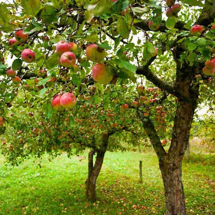 Pruning and Spraying Fruit Trees (1)