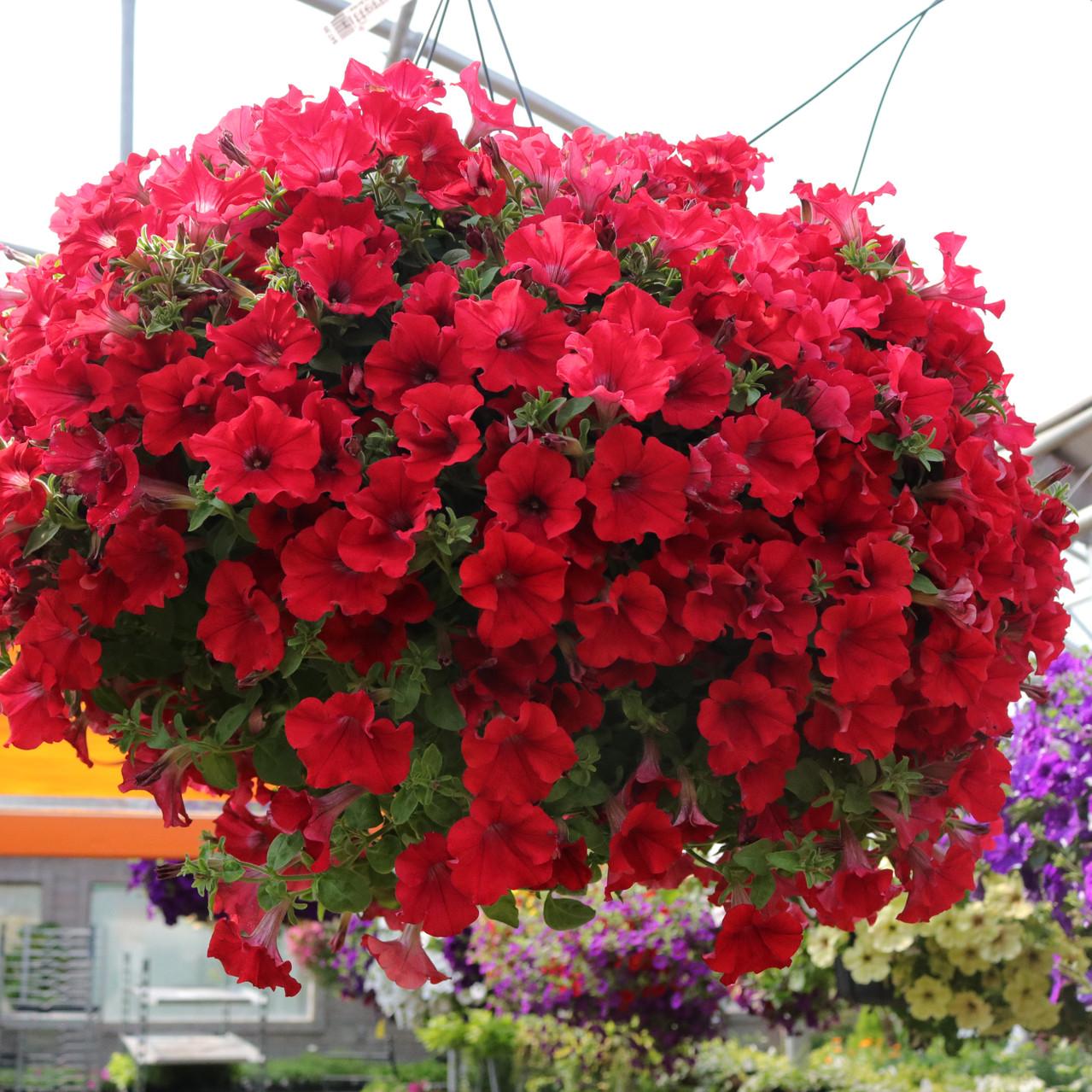 Red hanging basket