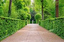 Natural green hornbeam leaf walls. Beautiful green leaves hornbeam fence background.jpg