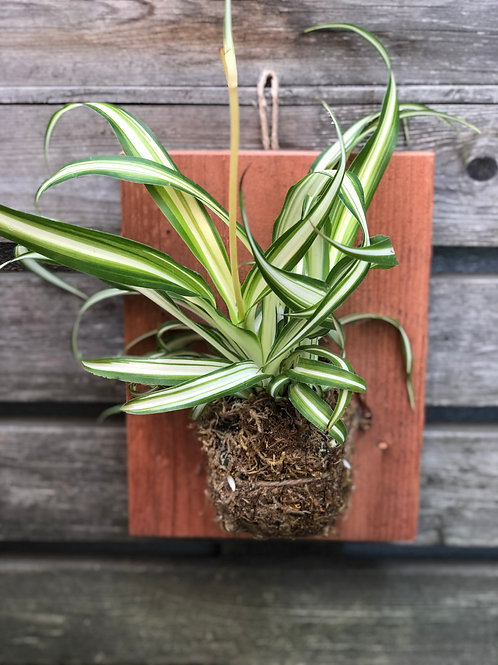 Spider Plant Mounted