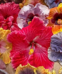 Caribbean Hibiscus Collection