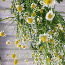 First chamomile harvest drying.  I plant