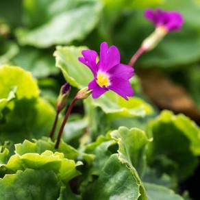 spring flowering perennials