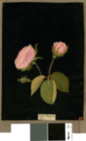 Moss Provence Rose Delany.jpg