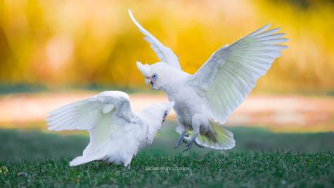 Cockatoos fighting