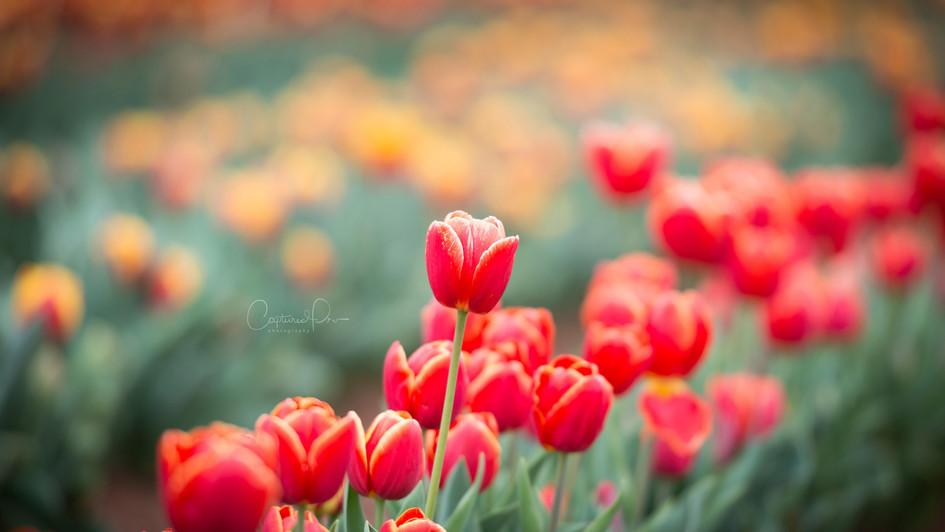 Tulip Festival Melbourne