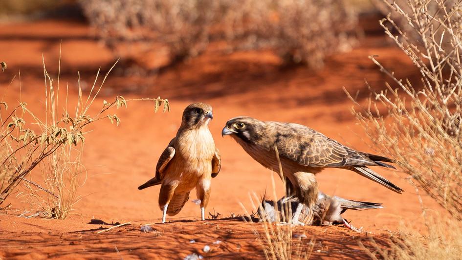 Birds of Prey enjoying a meal