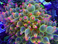 Bubble Tip Anemone.jpg