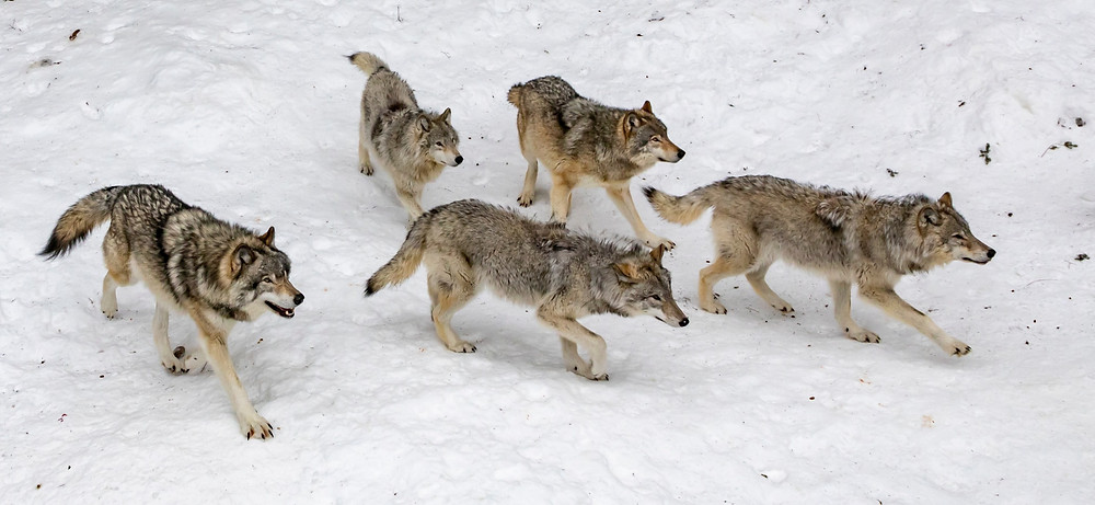 empowered gray wolves