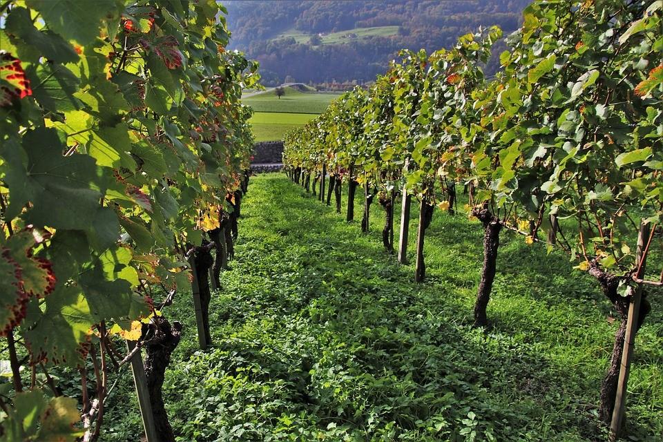plagas y enfermedades en viñedos