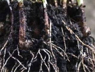 Trichodermas: aliadas de nuestros cultivos