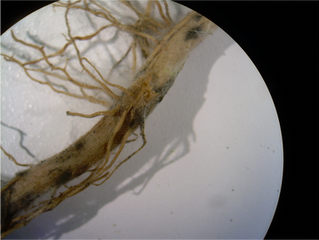 Patógenos del suelo: un peligro para la agricultura