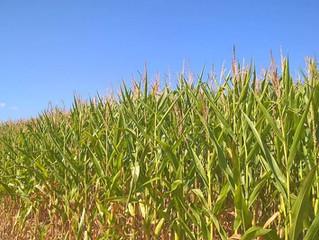 La Fertilización en Cultivos de Maíz y Arroz