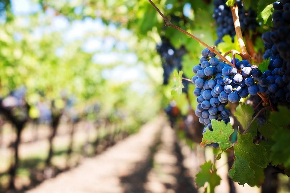 savia en los viñedos
