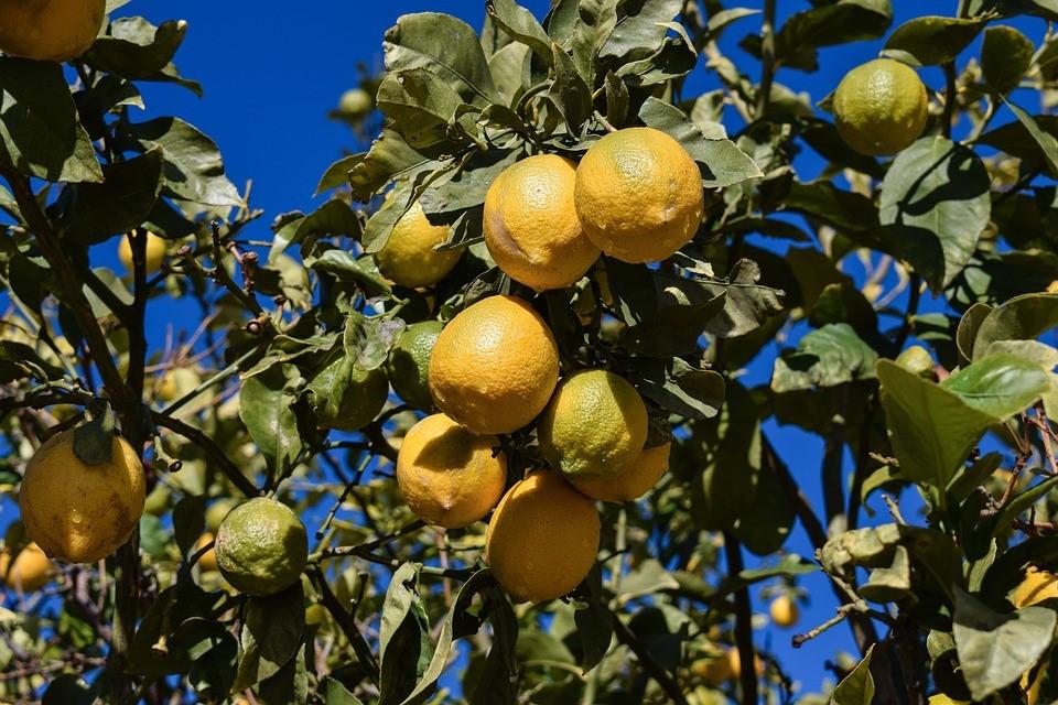 cultivos de citricos
