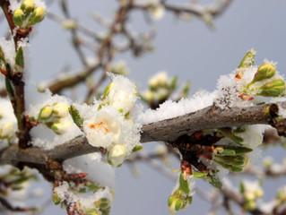 Horas frío en cultivo de frutales