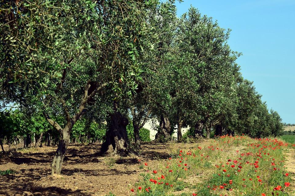 floración del olivo
