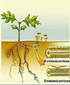 tipos de micorrizas