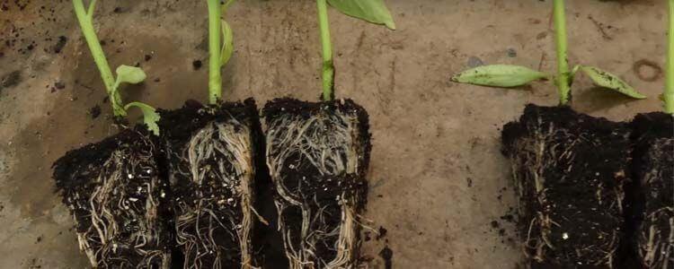 como aplicar micorrizas al suelo