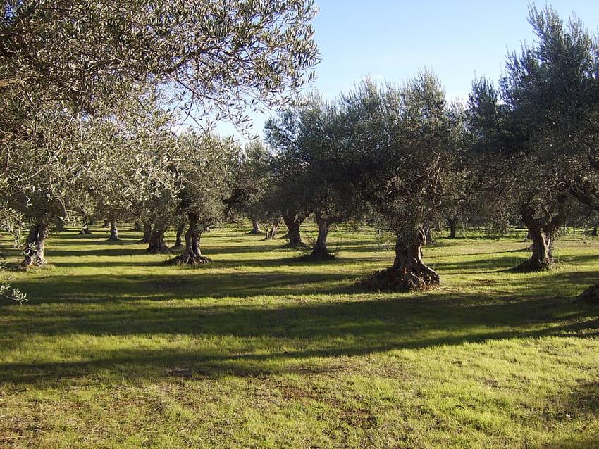 olivos, aceituna, aceite