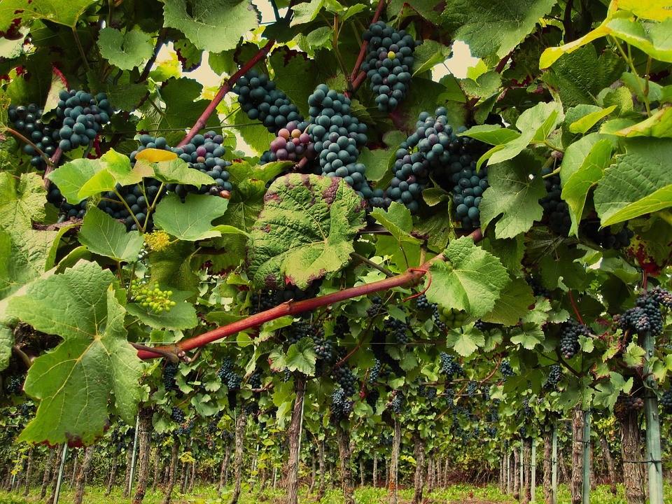 análisis en viñedos