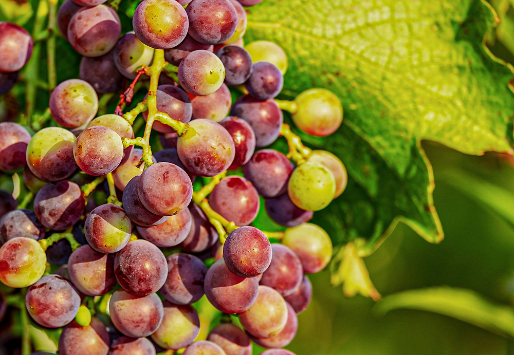 nutrientes uva