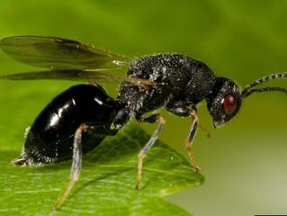 La avispilla del almendro: una plaga muy peligrosa